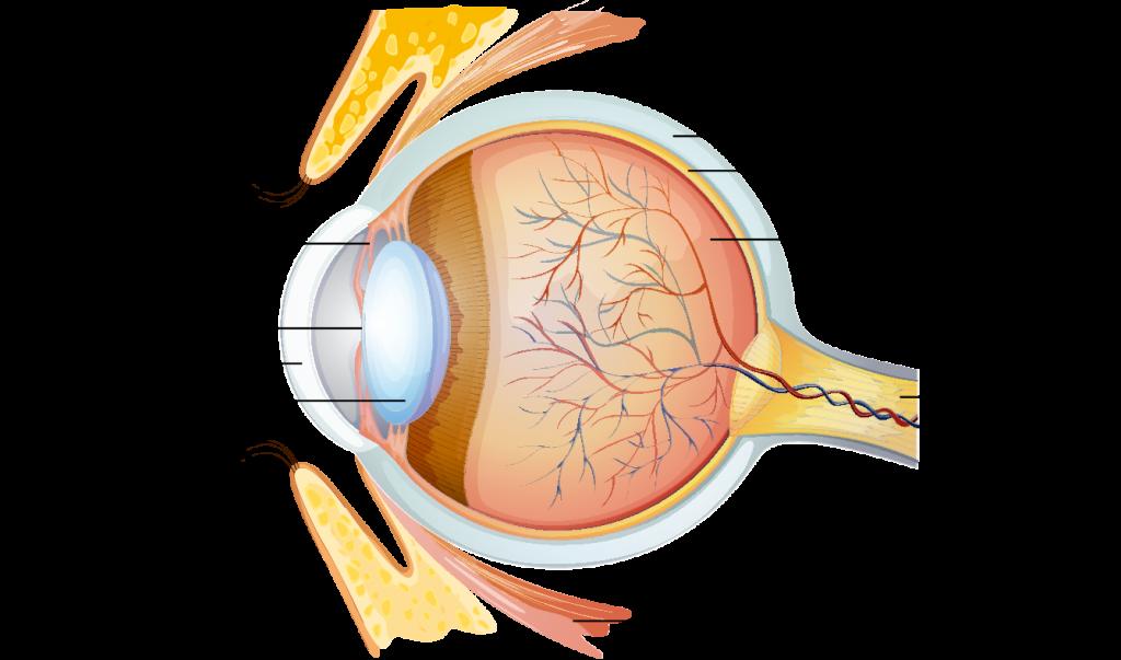 ראייה - מבנה העין