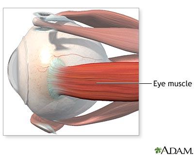 שרירי העין במבט מהצד